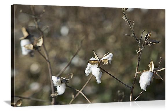 Close-cotton-plant-Mississippi-Delta-Avalon-Mississippi-94034